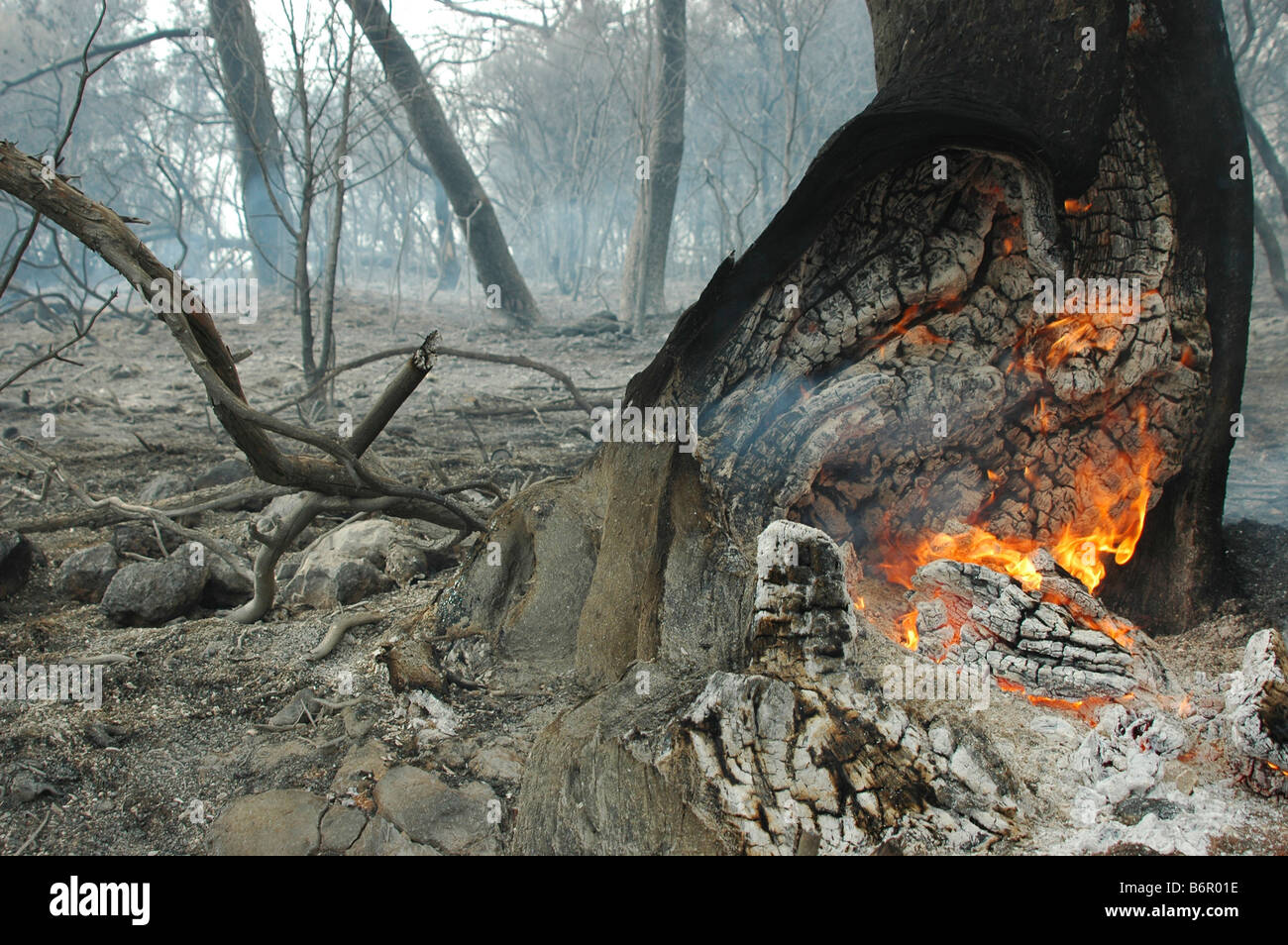 Israel Haifa Carmel Mountain Forest A fire smouldering in a tree trunk - Stock Image