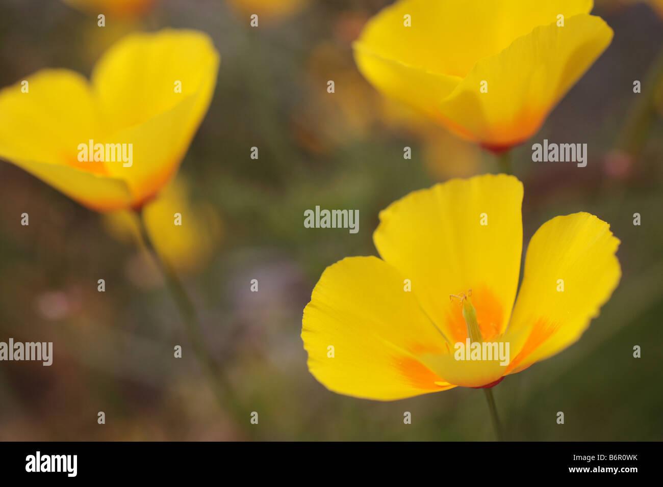 Escholtzia californica 'California poppy' Yellow flower head. - Stock Image