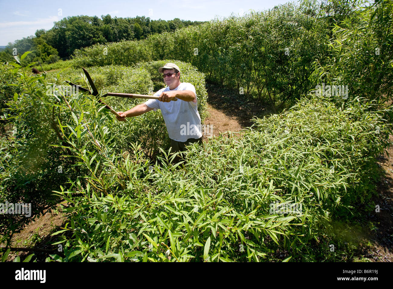 At the UConn Plant Science Research Farm in Storrs, CT, USA,  A researcher prunes Willows into a maze - Stock Image