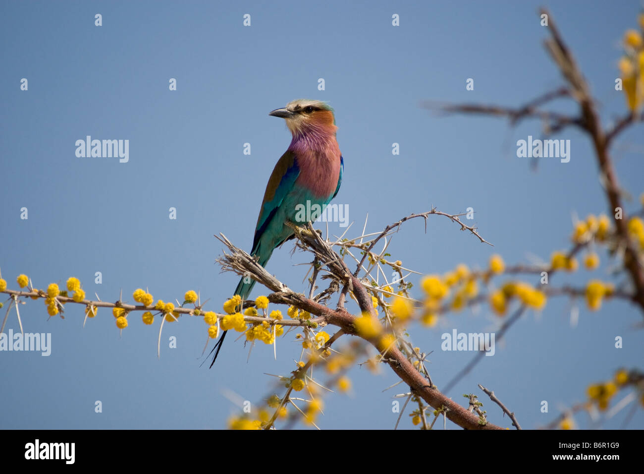 Lilac-breasted Roller Perched on Blooming Acacia, Etosha National Park, Namibia Stock Photo