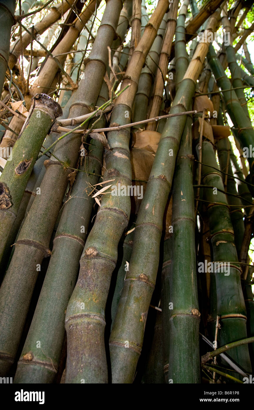 Bamboo,Waterburg Wilderness, Lodge,Namibia, South West Africa - Stock Image