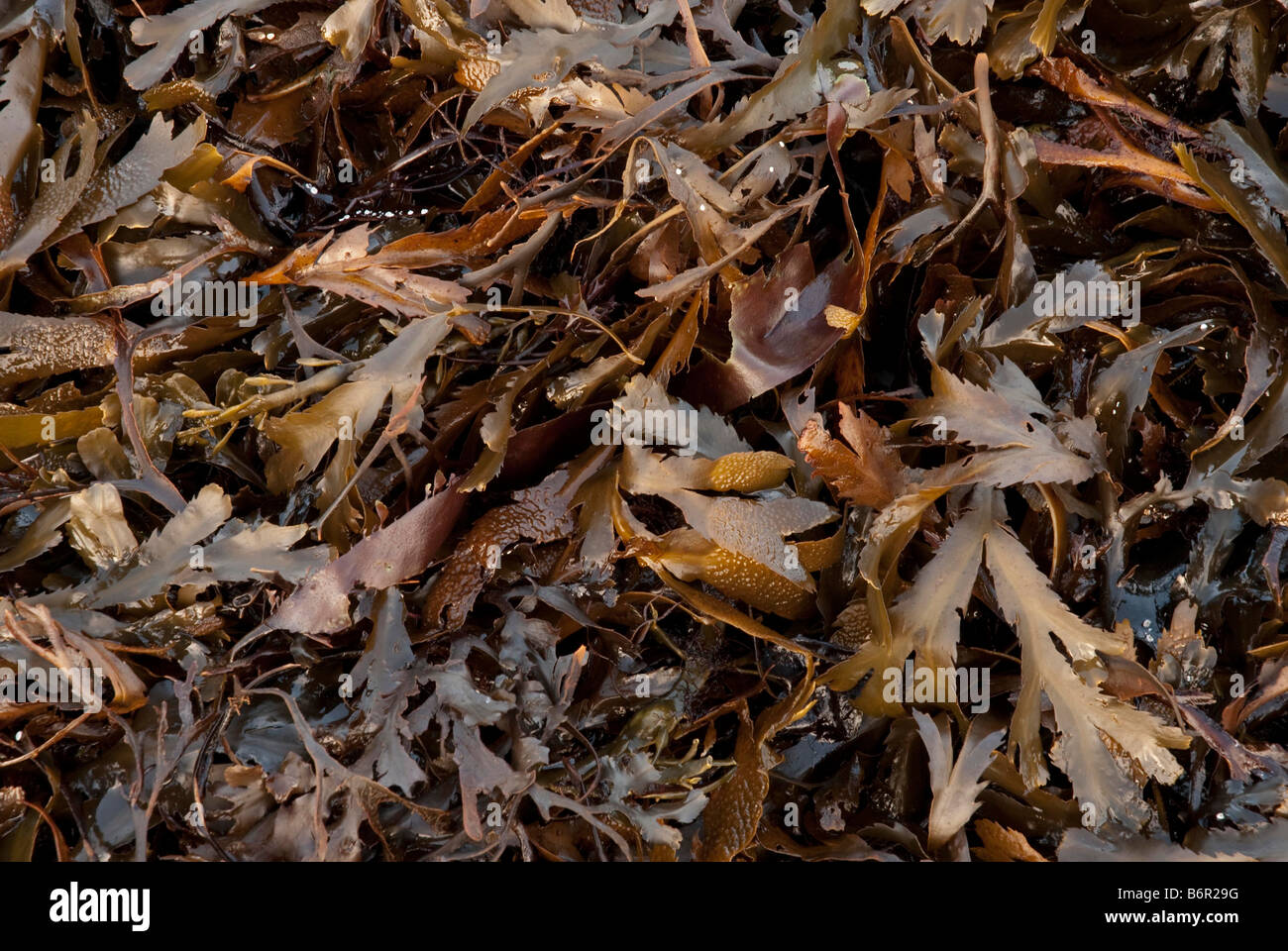 Brown Seaweeds - Stock Image