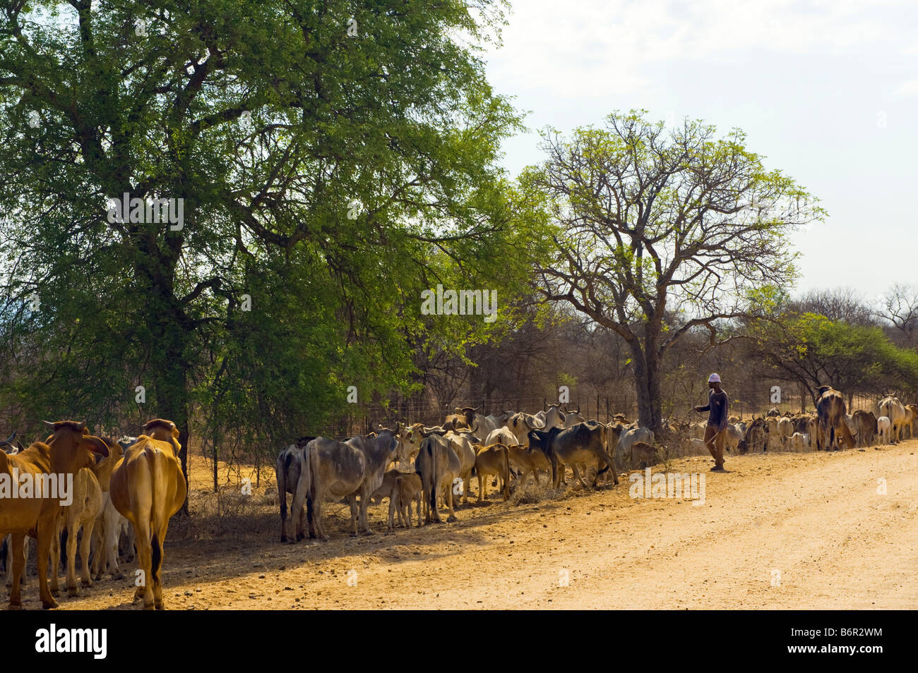 cattle brahman cow bull flock herd group cattle breeding farming in South-Africa south africa brahma  afrika flock - Stock Image