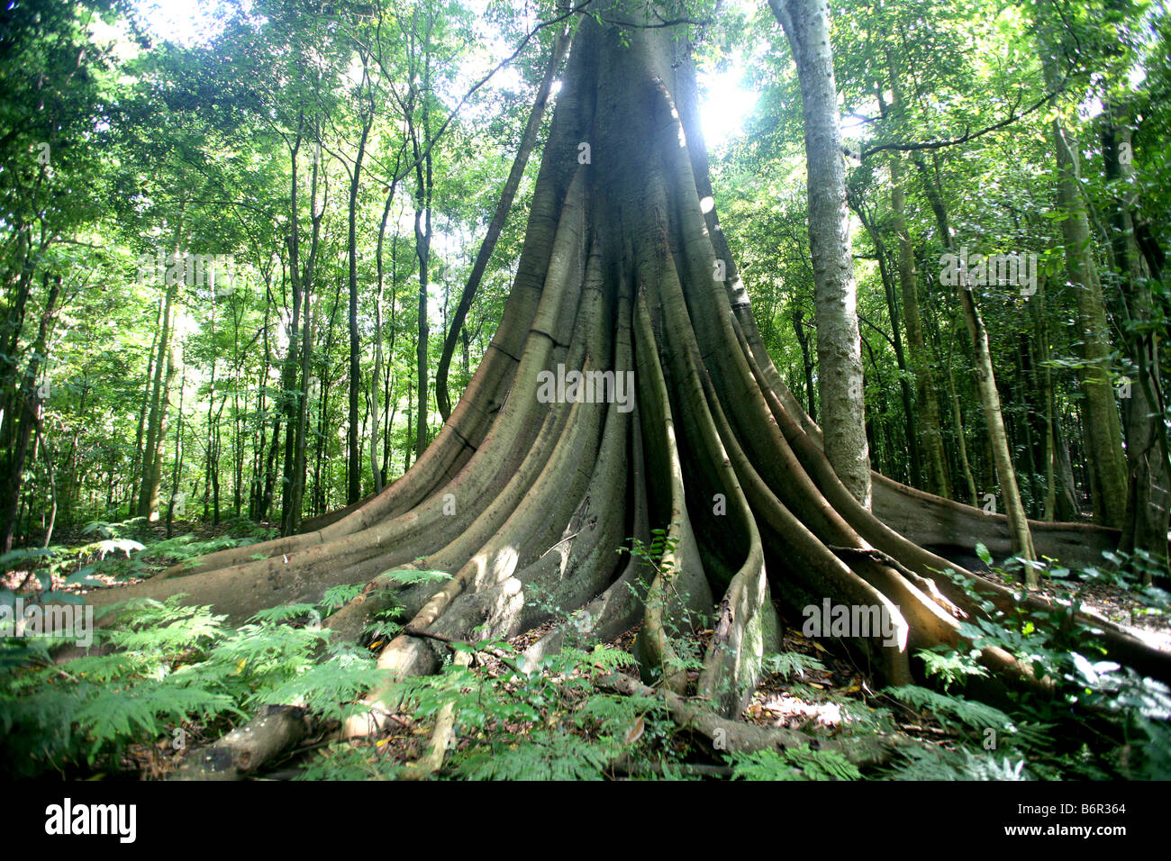 Morton Bay fig tree at Wingham Brush in New South Wales Australia - Stock Image