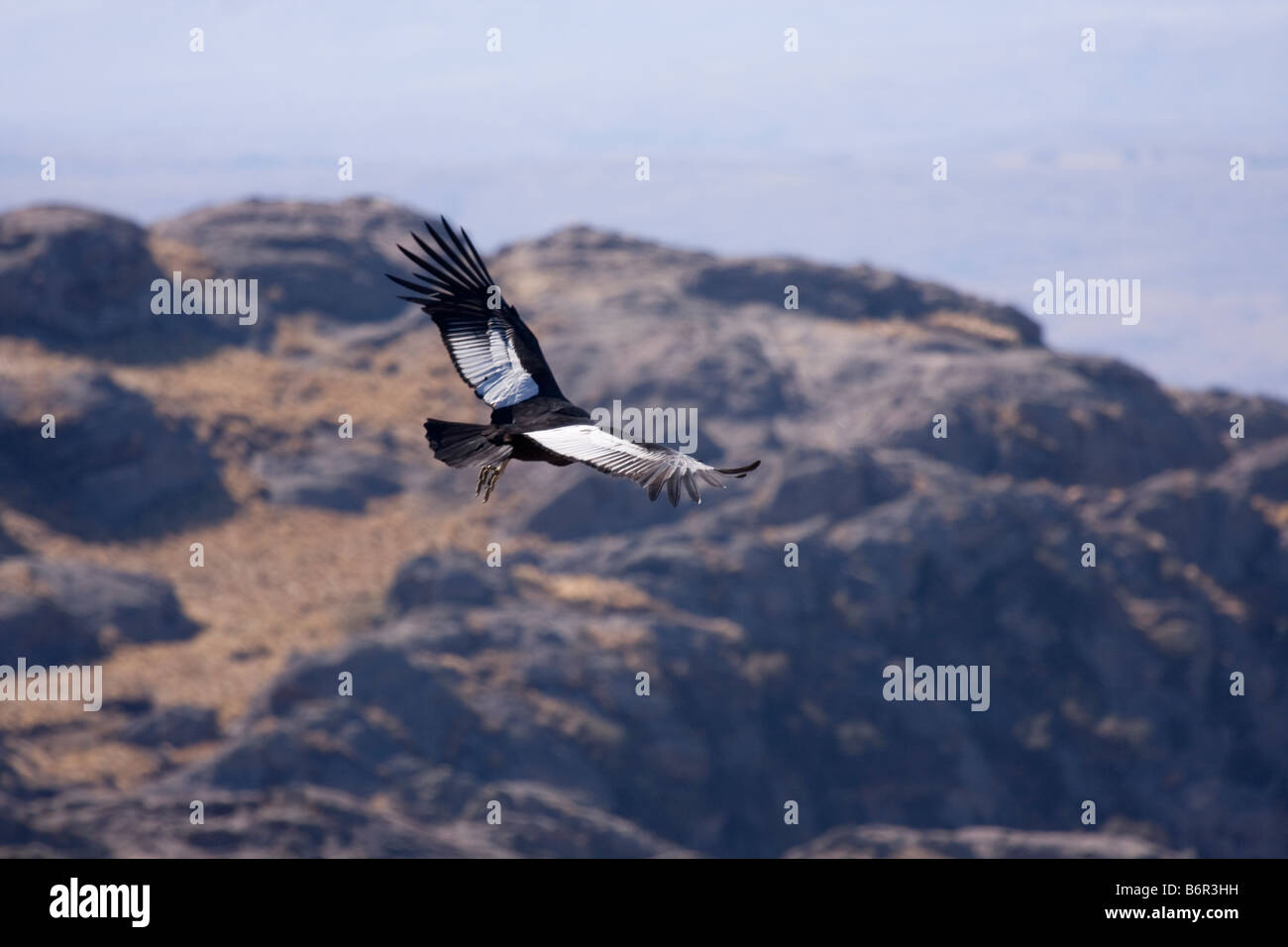 Andean Condor Overflying Quebrada del Condorito - Stock Image