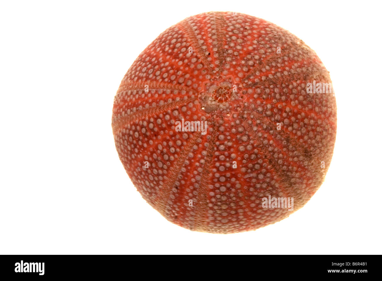 Sea Urchin Echinus esculentis - Stock Image