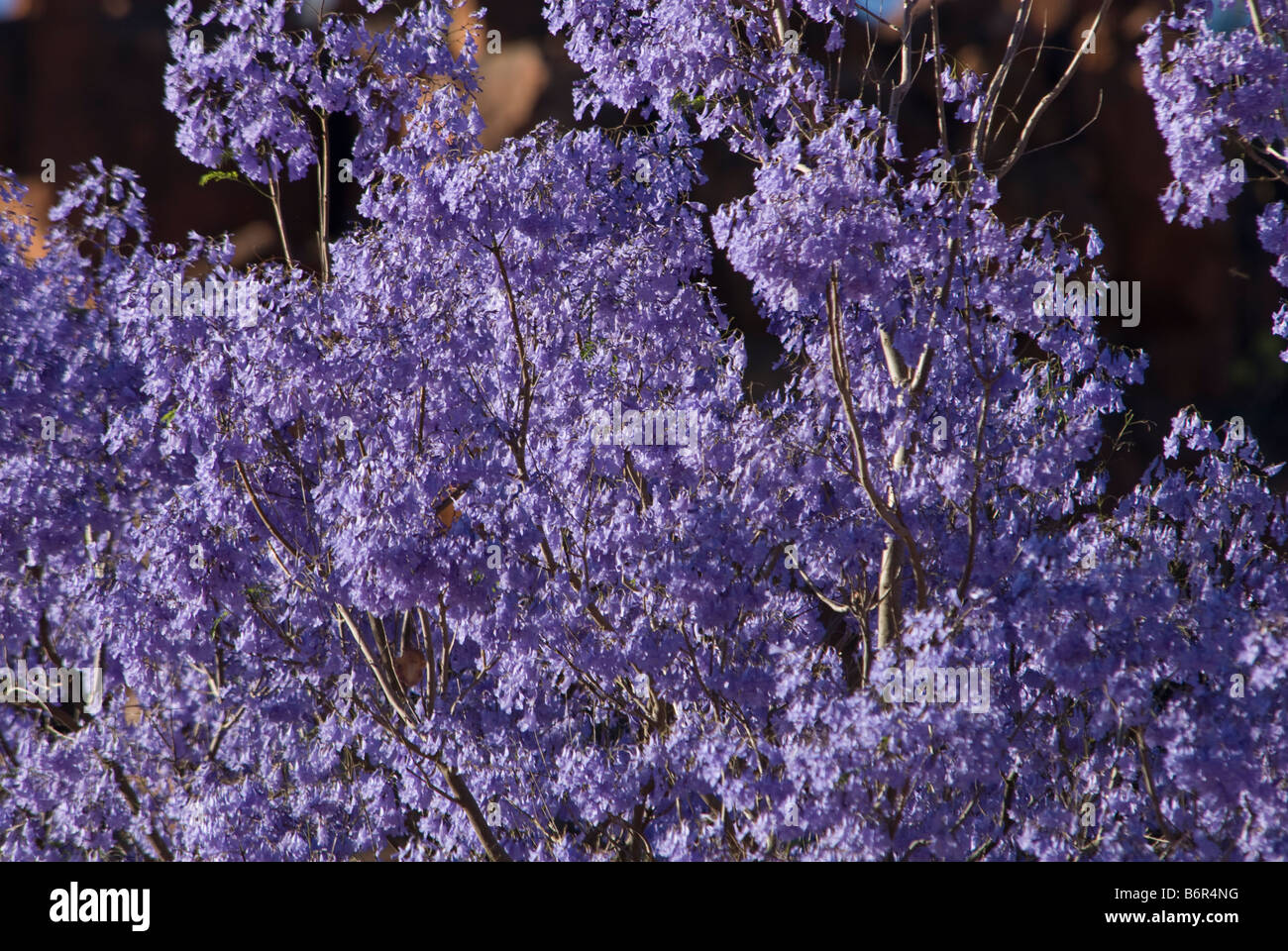 Jacaranda Trees,Waterburg Wilderness, Lodge,Namibia, South West Africa - Stock Image
