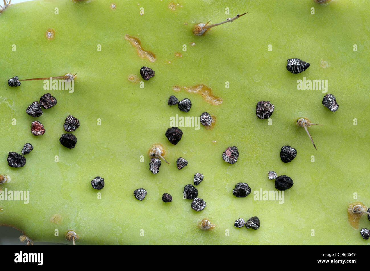 Cochineal insect (Dactylopius coccus). Dried females on cactus leaf for color production - Stock Image