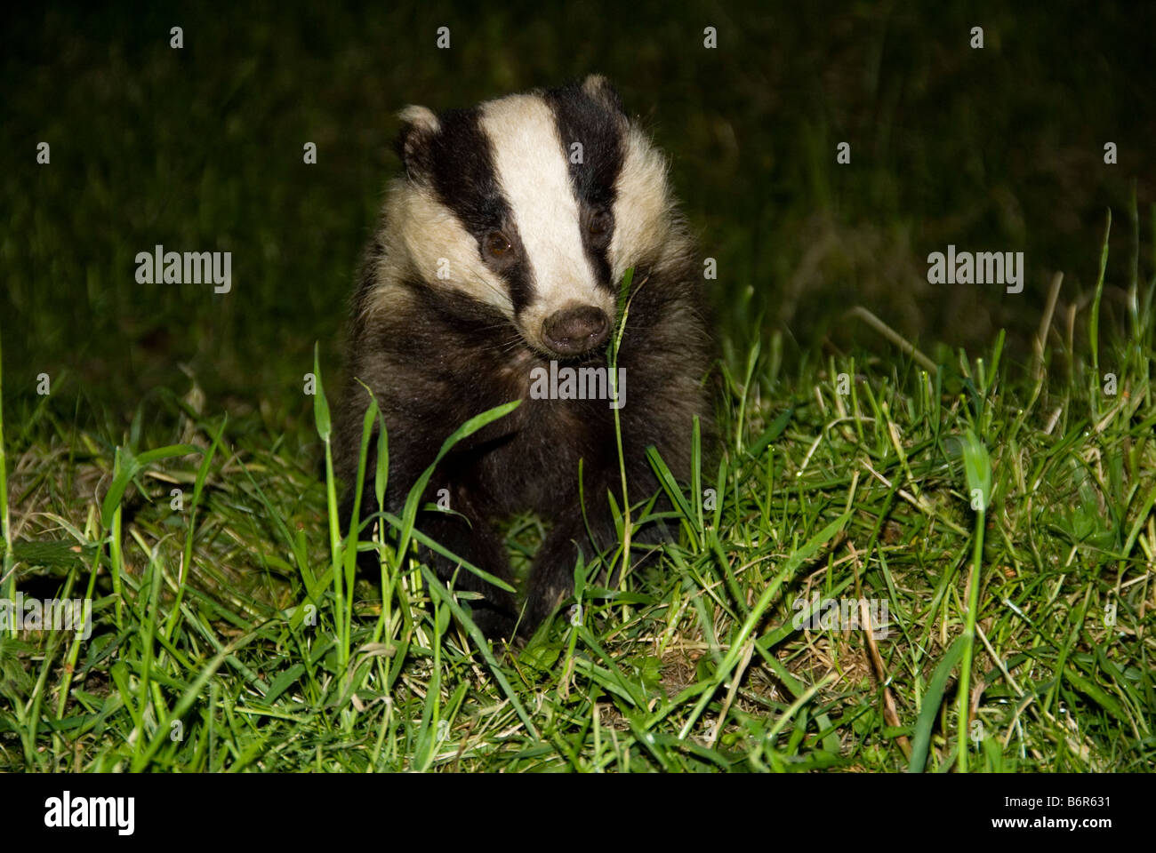European Badger (Meles meles) On a nature Reserve in the Herefordshire countryside - Stock Image