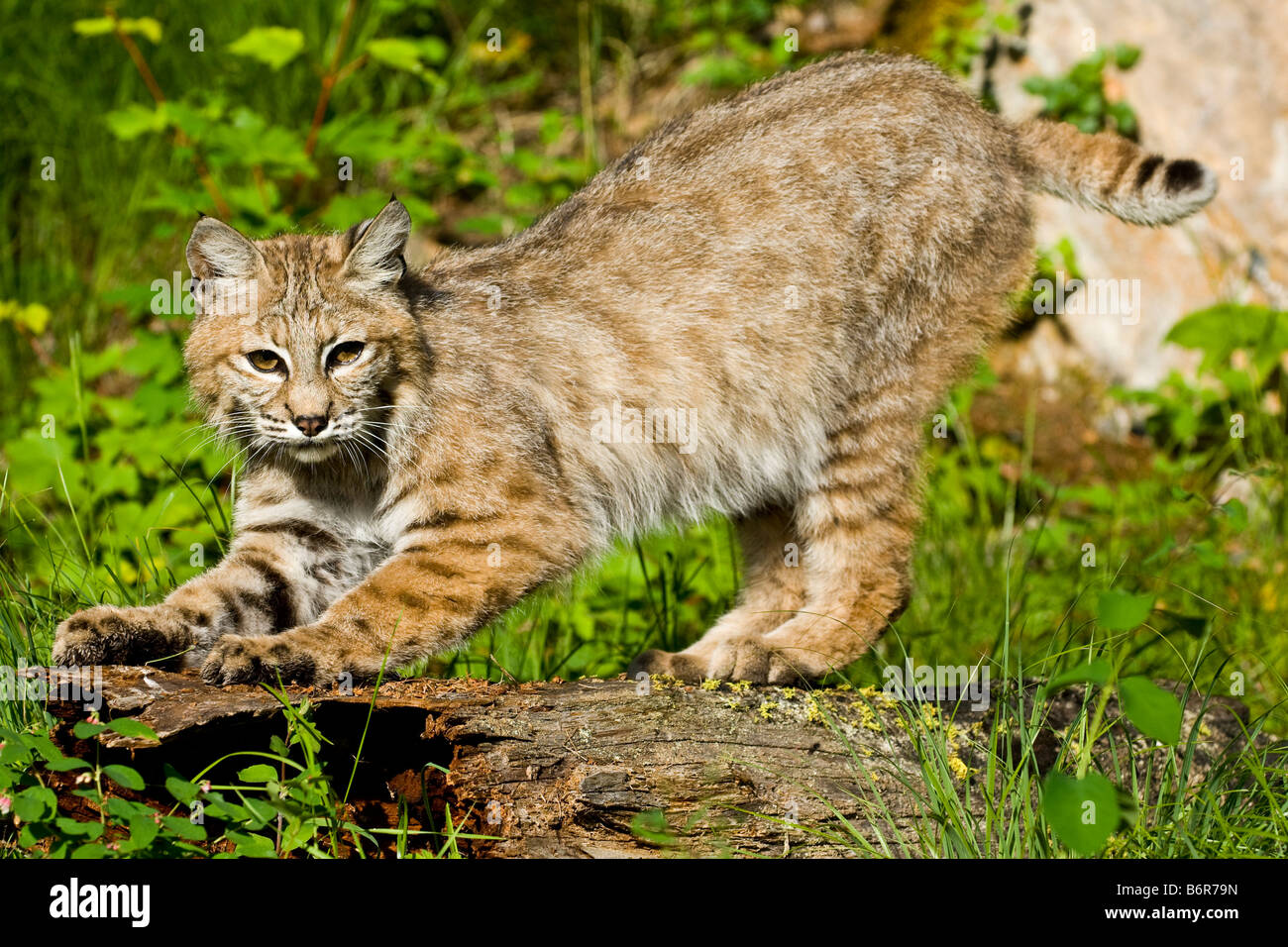 Bobcat  crouching and scratching a fallen log- controlled conditions - Stock Image