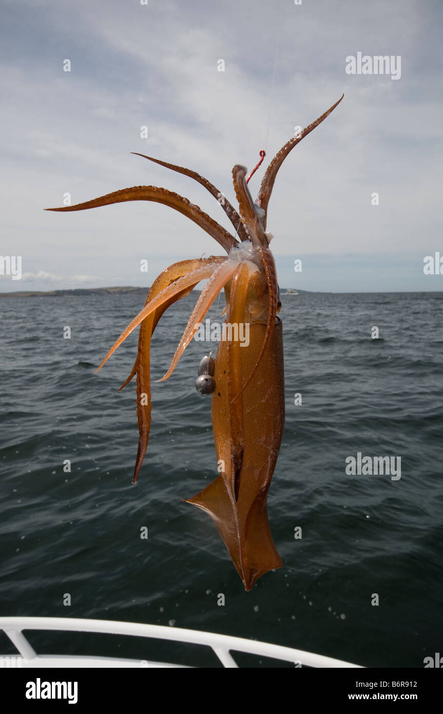 A squid caught on a fishing line - Stock Image