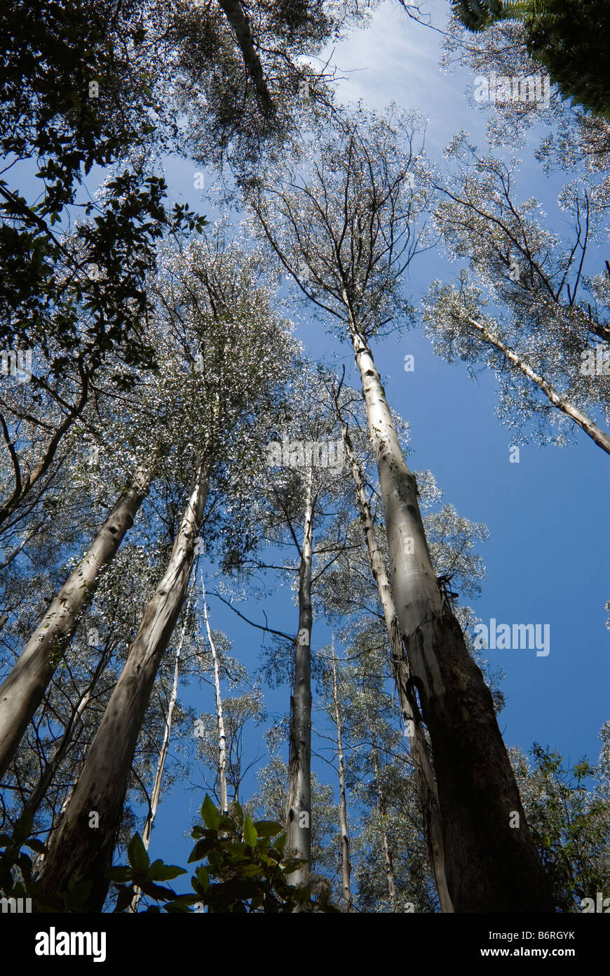 Mountain ash eucalypts in Sherbrooke Forest, Melbourne, Australia - Stock Image