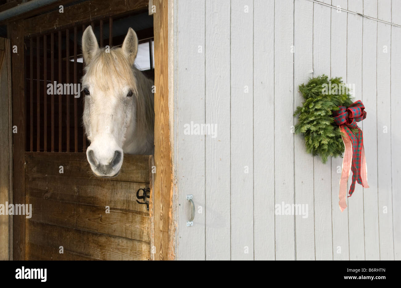 A Christmas In Vermont.A White Horse Peers Out From Its Stable At Christmas In
