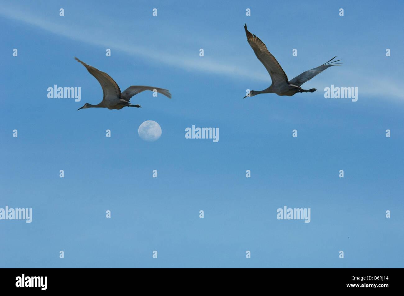 Pair of Sandhill Cranes in flight against sky - Stock Image