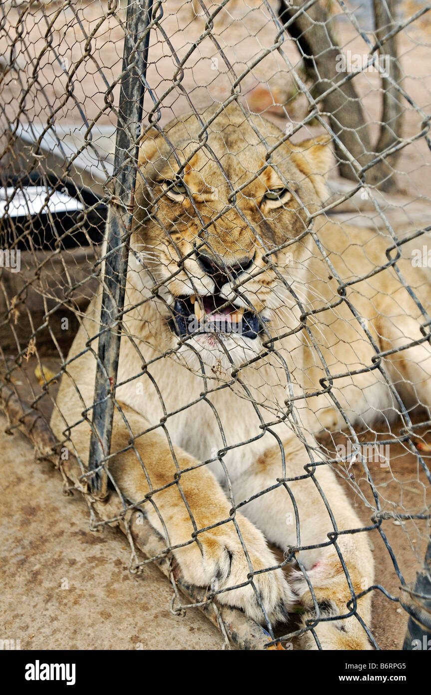 Lion behind a fence, South Africa, Africa Stock Photo