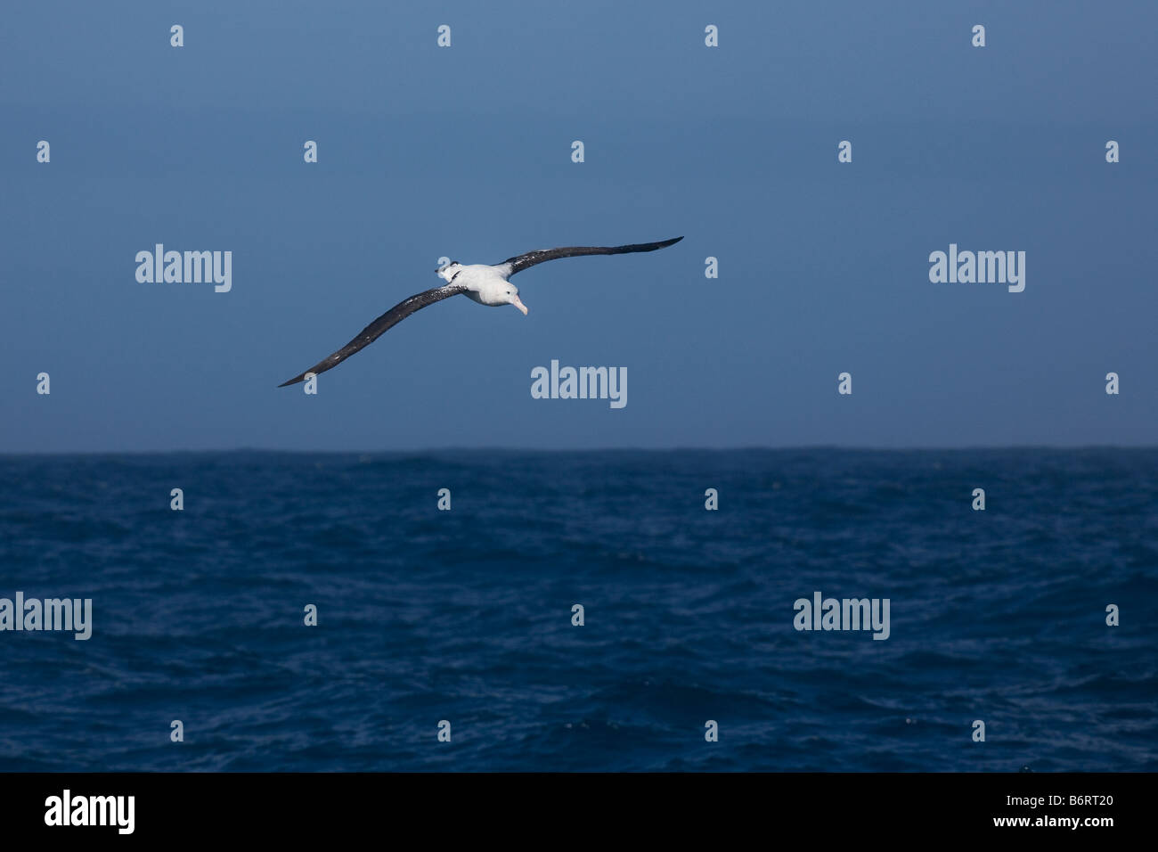 Wandering Albatross Diomedea exulans in flight Drake Passage Southern Ocean Antarctica - Stock Image