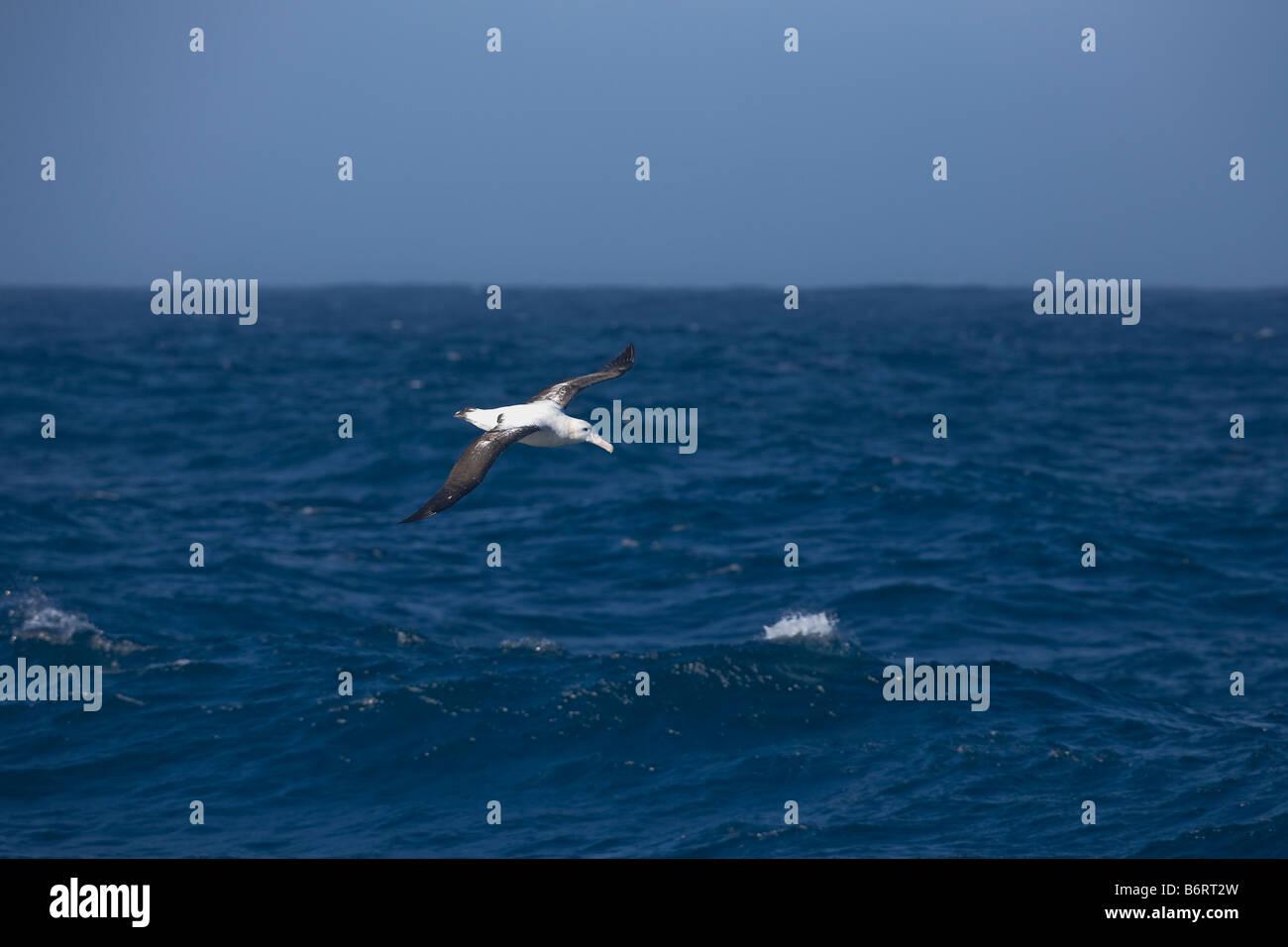 Wandering Albatross Diomedea exulans Drake Passage Southern Ocean Antarctica - Stock Image