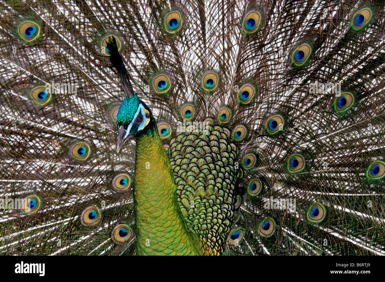 The Green Peafowl 'Pavo muticus' fanning - Stock Image