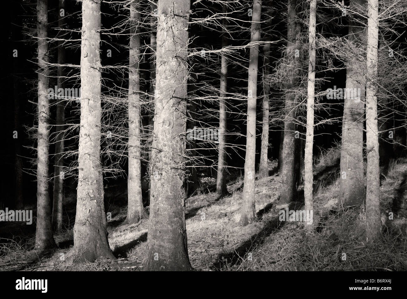 Conifers in Macclesfield Forest Stock Photo