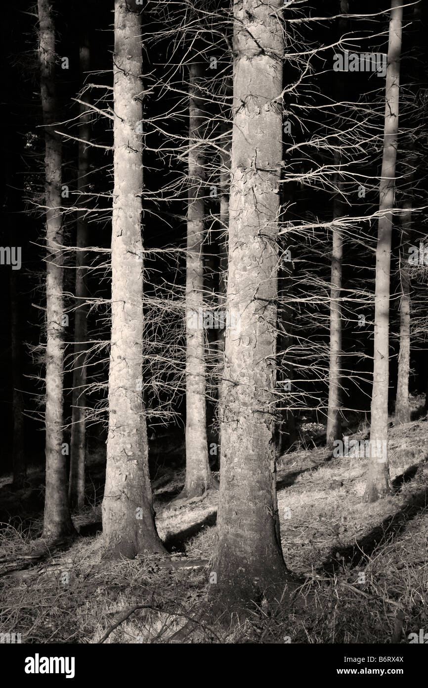 Conifers in Macclesfield Forest - Stock Image