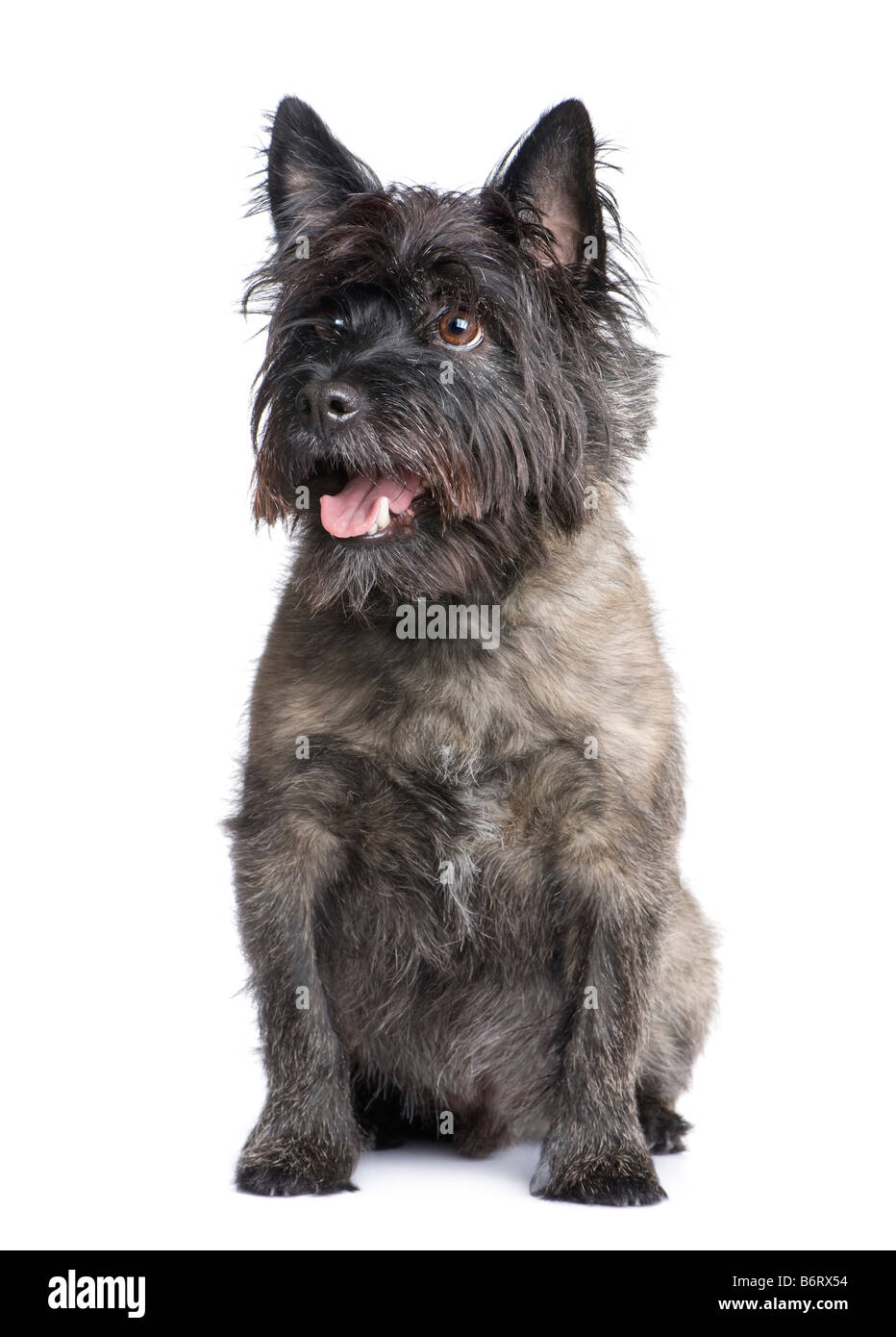 Cairn Terrier 8 years in front of a white background - Stock Image