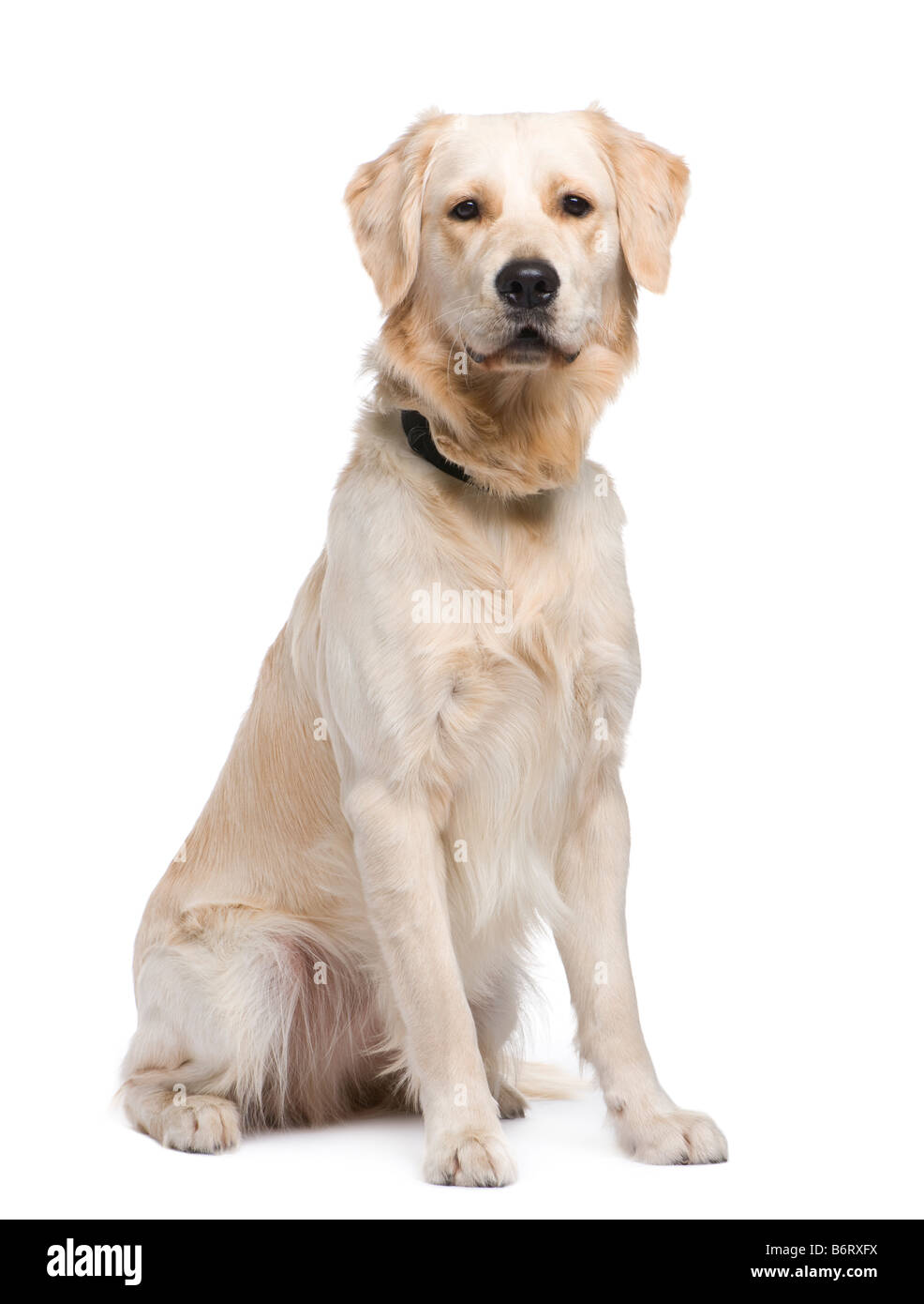 Golden Retriever 1 year in front of a white background - Stock Image