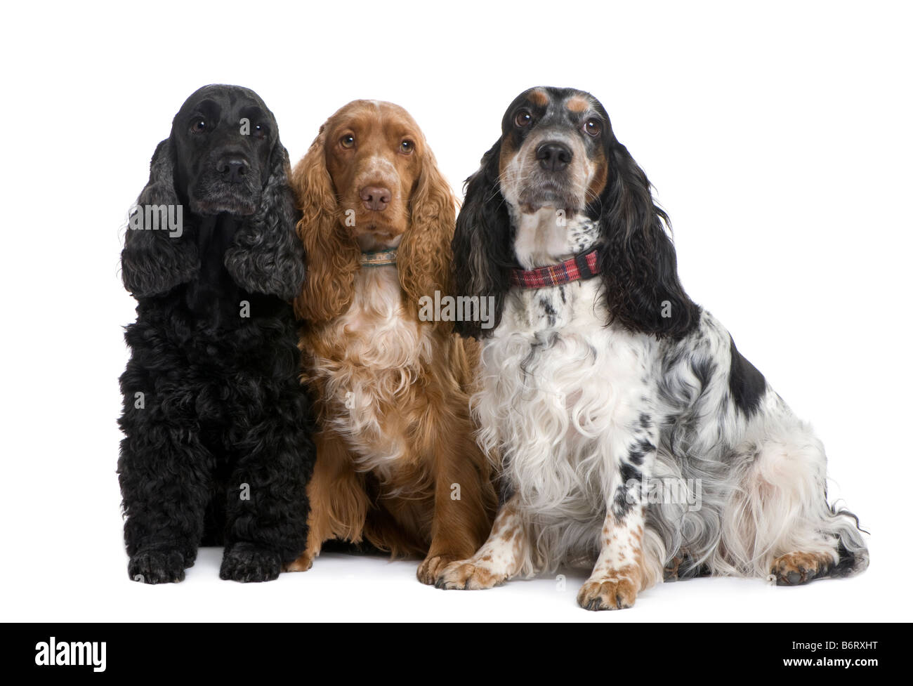 group of three Cocker Spaniels in front of a white background - Stock Image