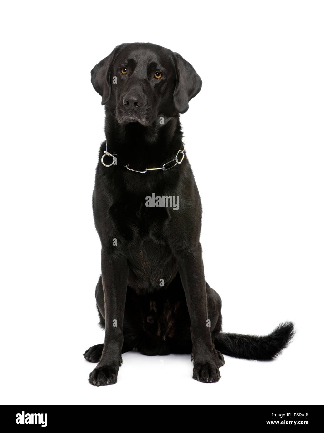black Labrador in front of a white background - Stock Image