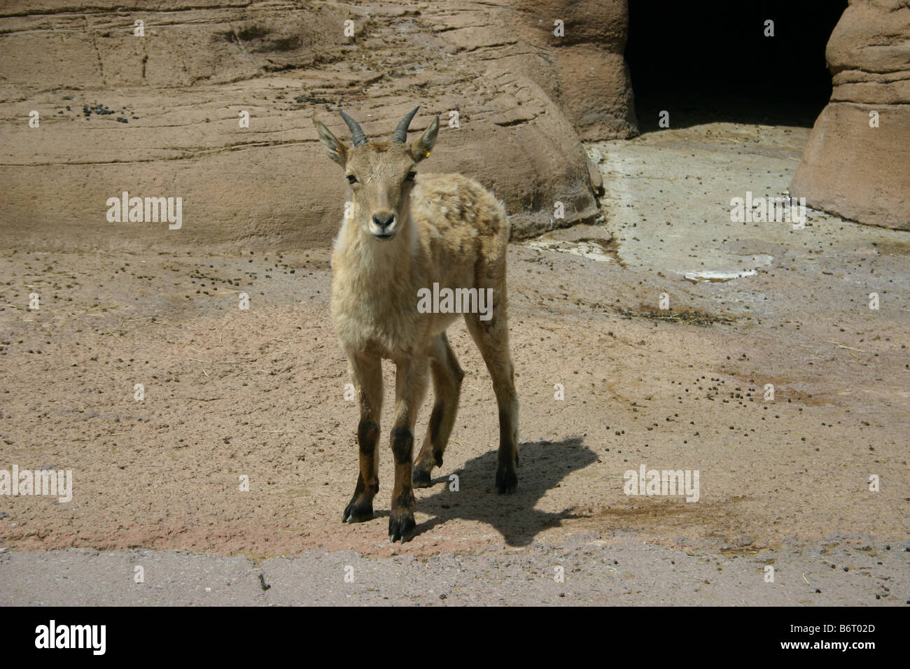 A young west caucasus tur kid, a breed of goat-antelope native to central Asia, Stock Photo