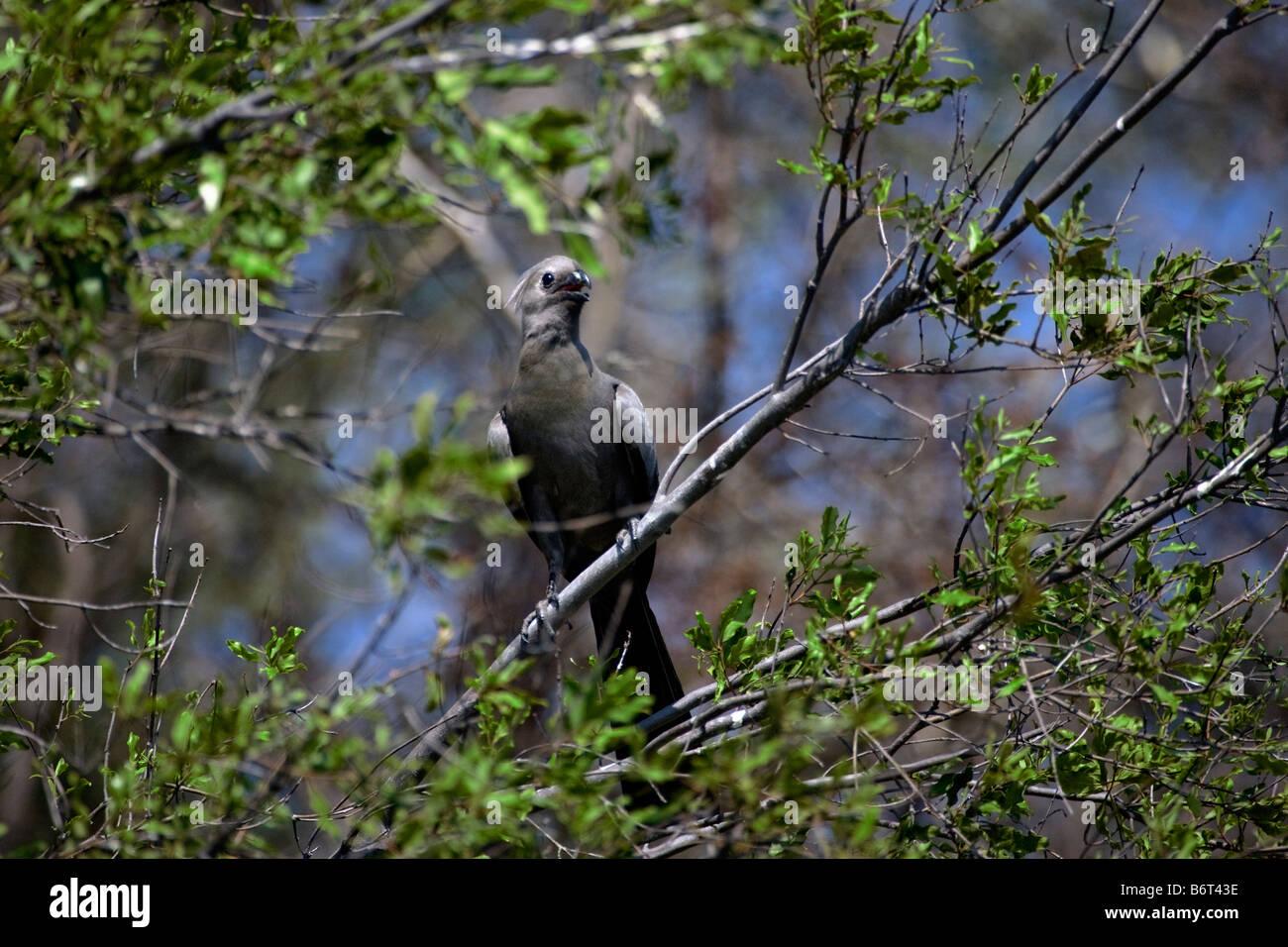 Grey Go-away Bird or Lourie, Okavango Panhandle, Botswana - Stock Image