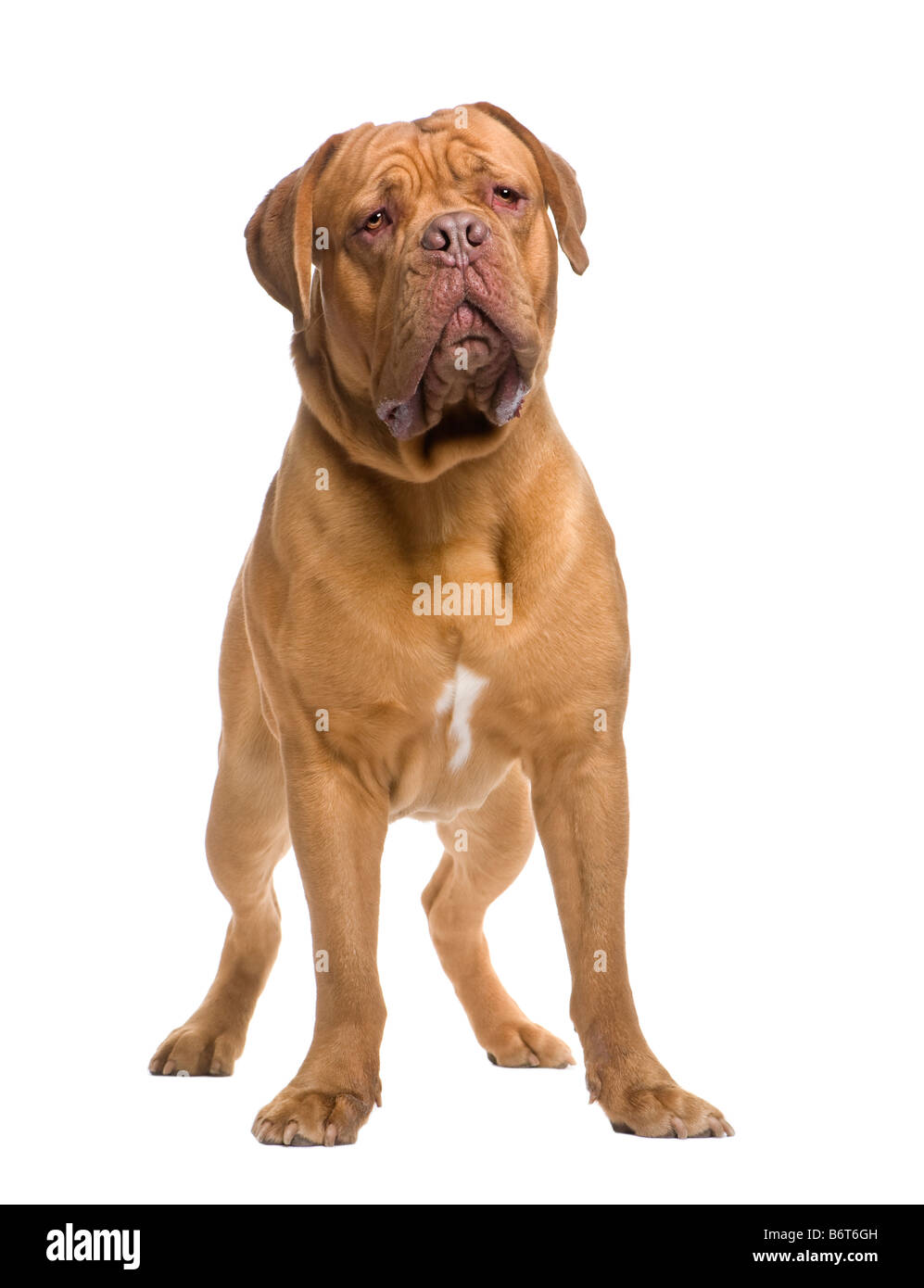 Dogue de Bordeaux 13 months in front of a white background - Stock Image