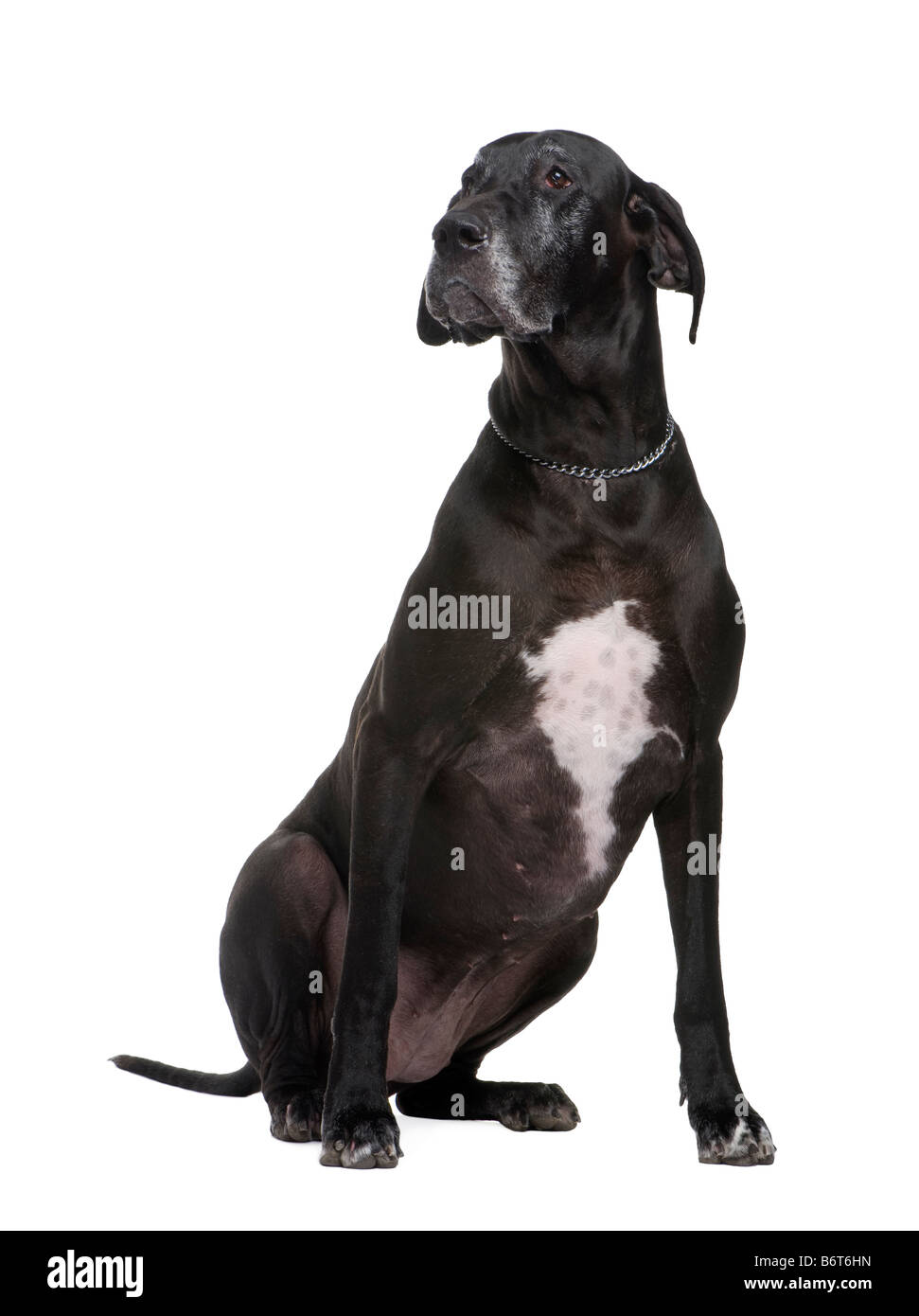 Great Dane in front of white background - Stock Image