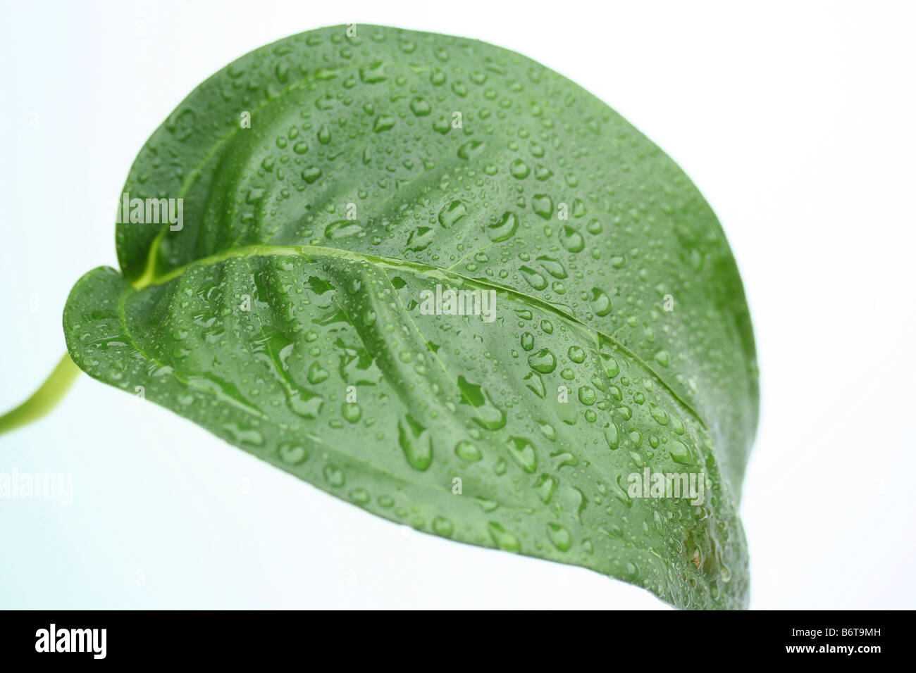 Anthurium leaf with droplets - Stock Image