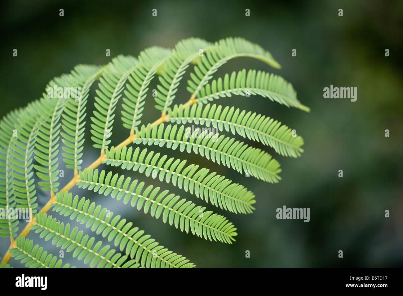 Acacia leaf - Stock Image