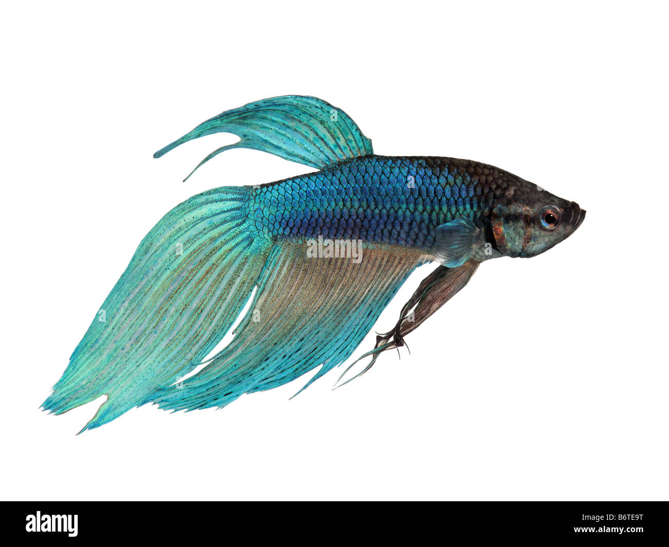 blue Siamese fighting fish Betta Splendens in front of a white background - Stock Image