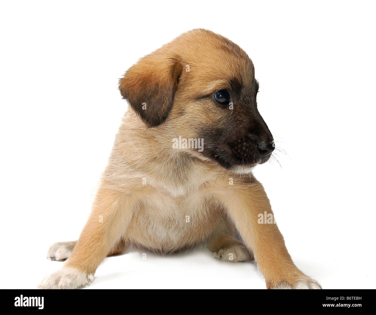 Cute puppy on white background - Stock Image