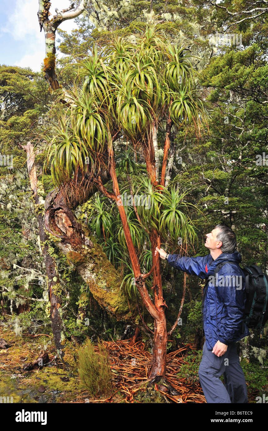 Hiking in mountains. Dracophyllum traversii in high ...