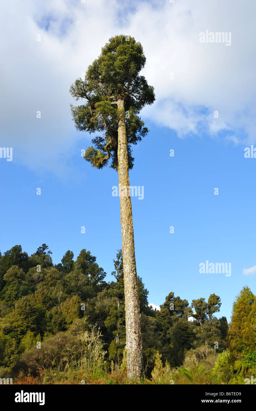 Tall conifer New Zealand - Stock Image