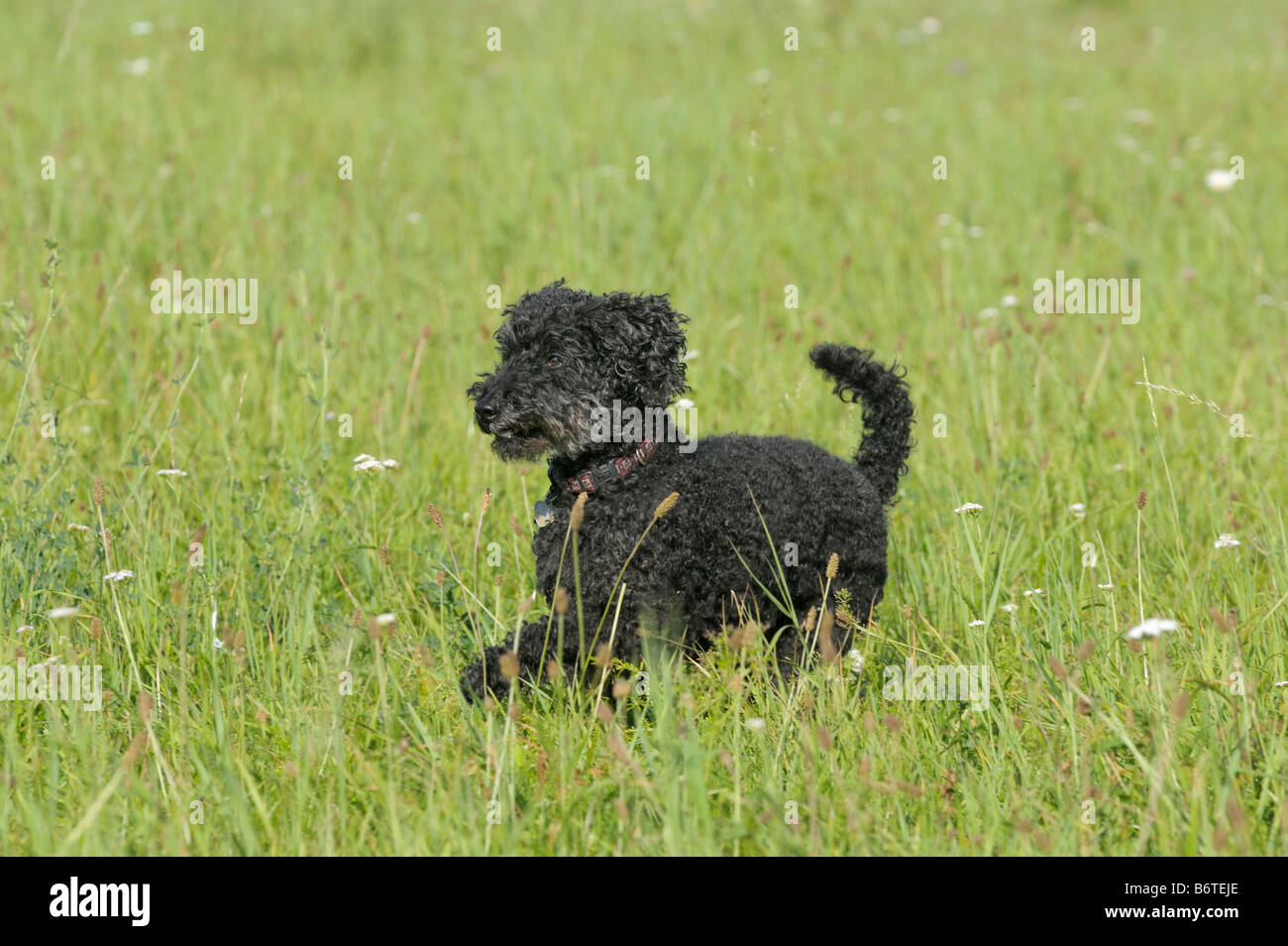 Black poodle running in a meadow - Stock Image