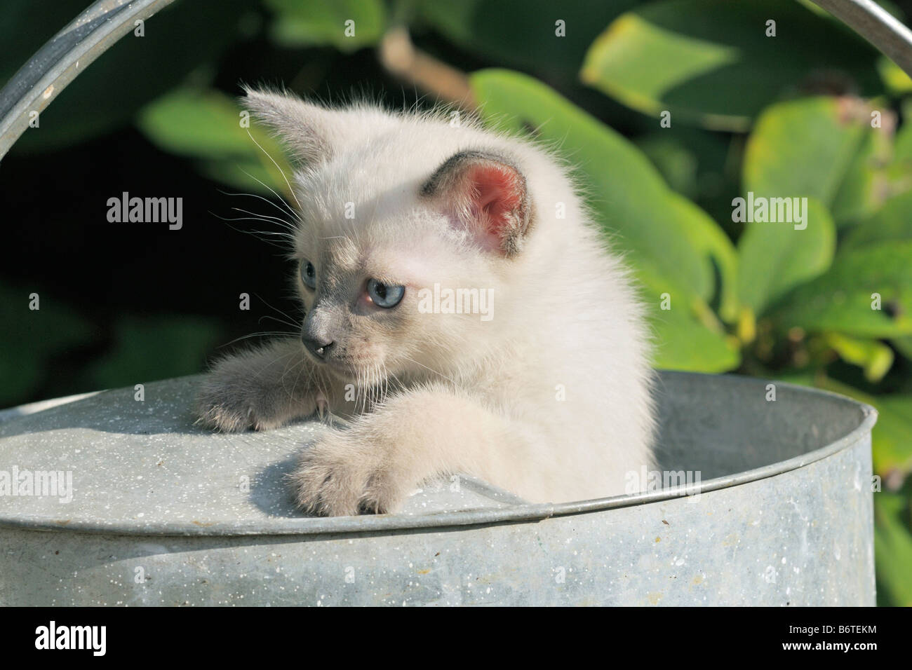 Young Siamese cat looking out from a waterin can - Stock Image