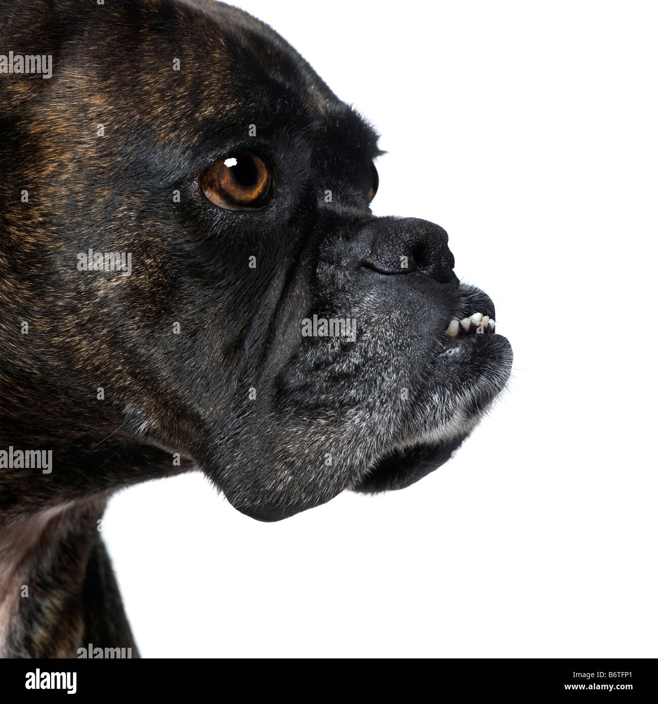 close up on a Boxer s head 9 years in front of a white background - Stock Image