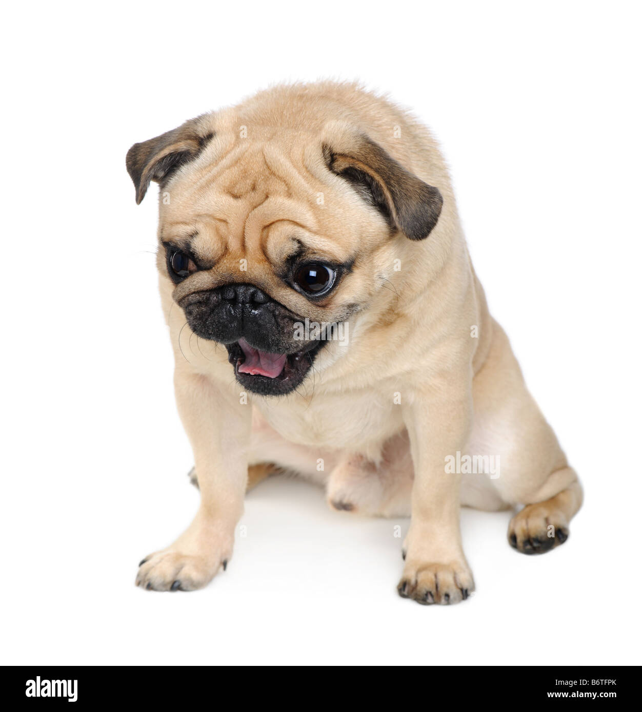 Pug years in front of a white background - Stock Image