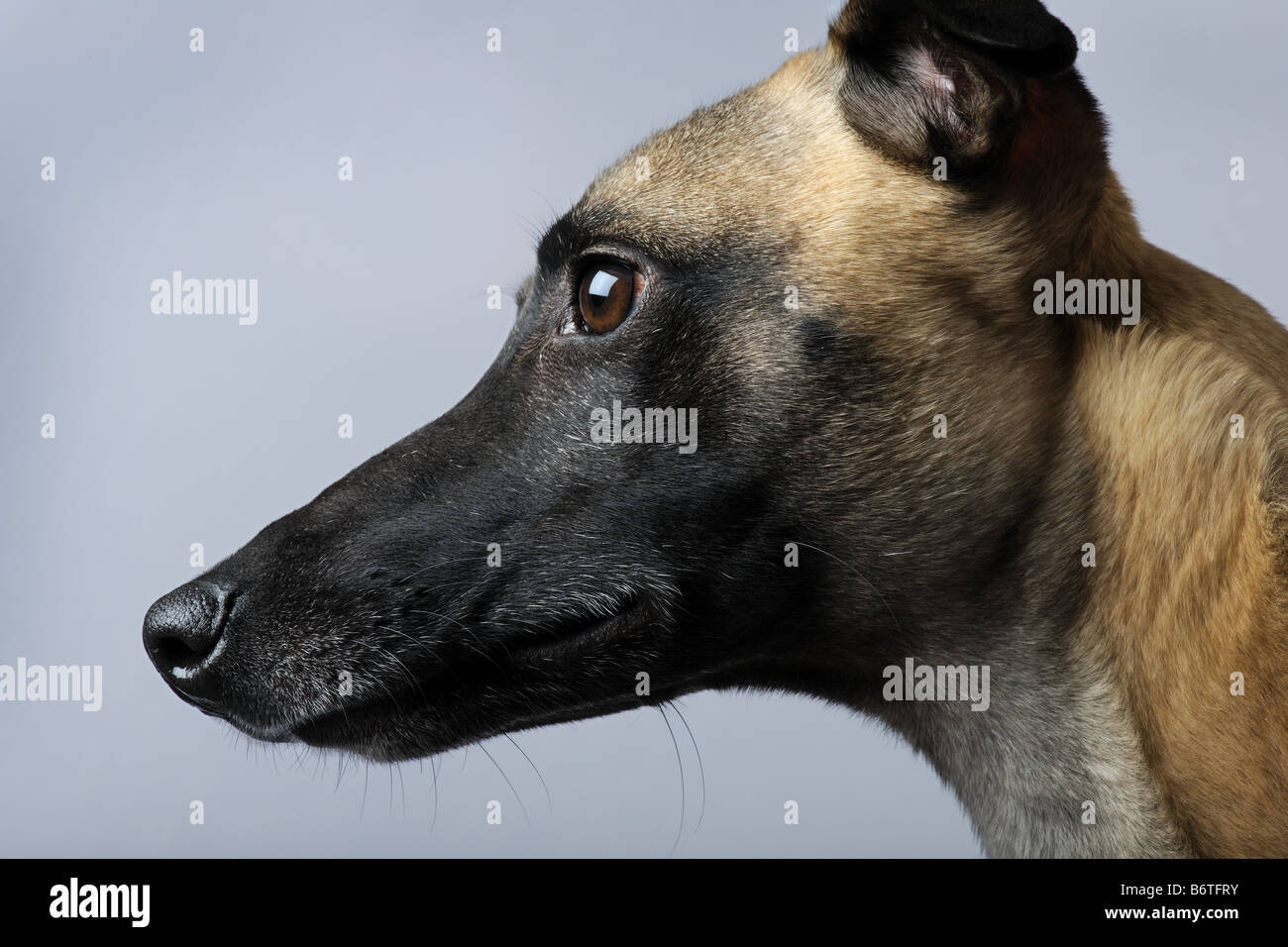 Whippet 1 year in front of a grey background - Stock Image