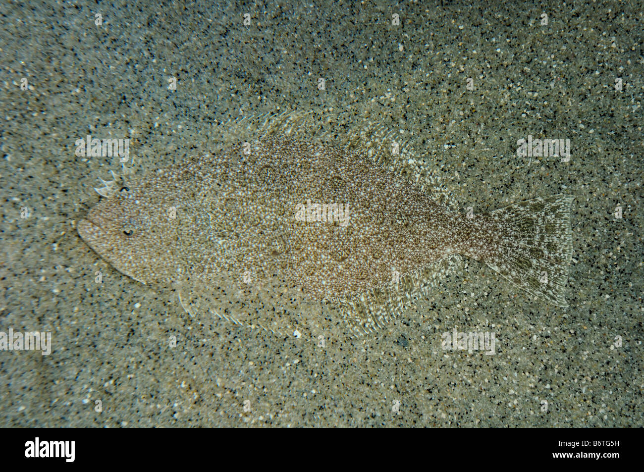 California halibut Paralichthys californicus captive - Stock Image