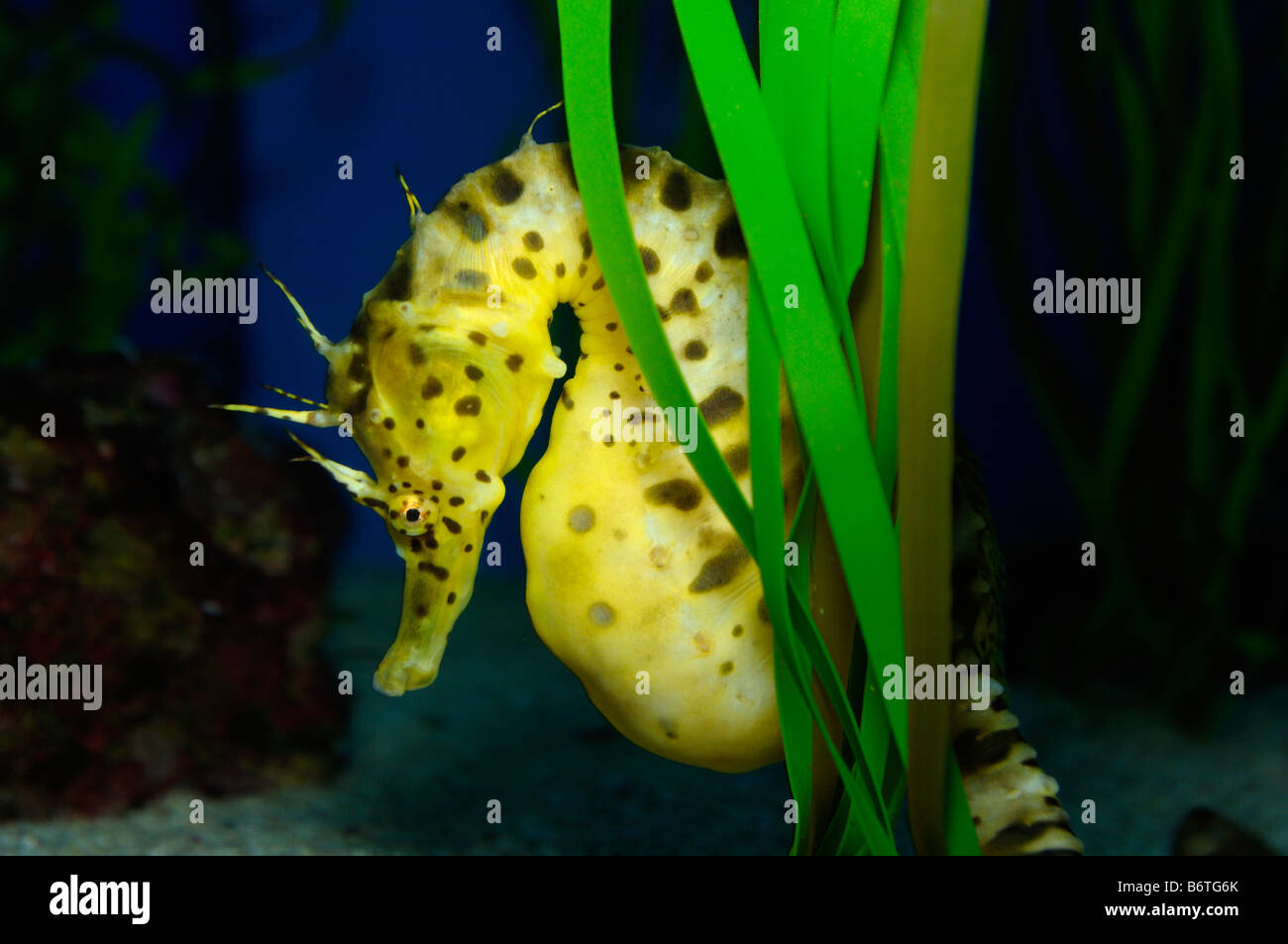 Pot bellied seahorse Hippocampus abdominalis captive - Stock Image