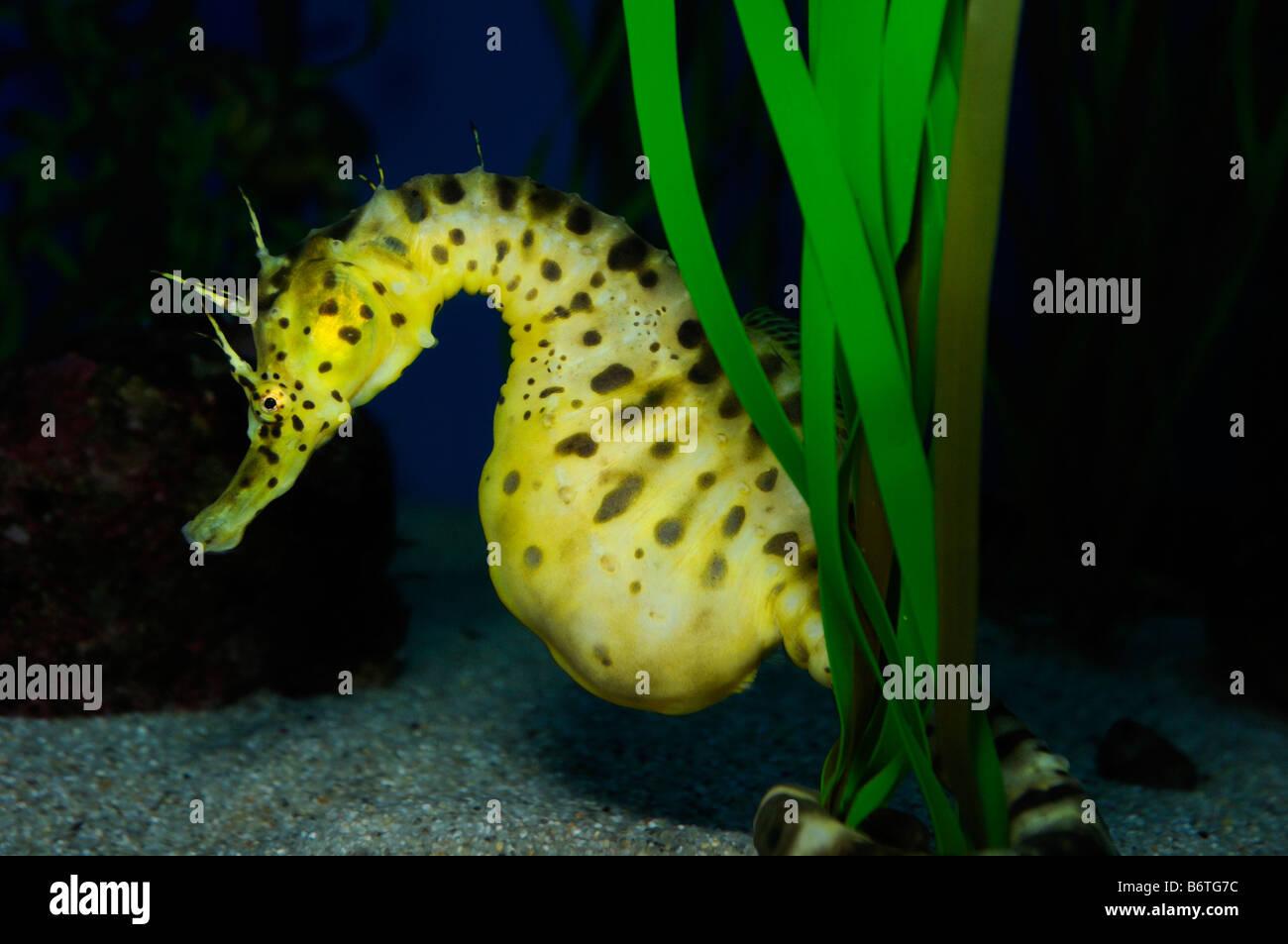 Pot bellied seahorse Hippocampus abdominalis captive - Stock Image