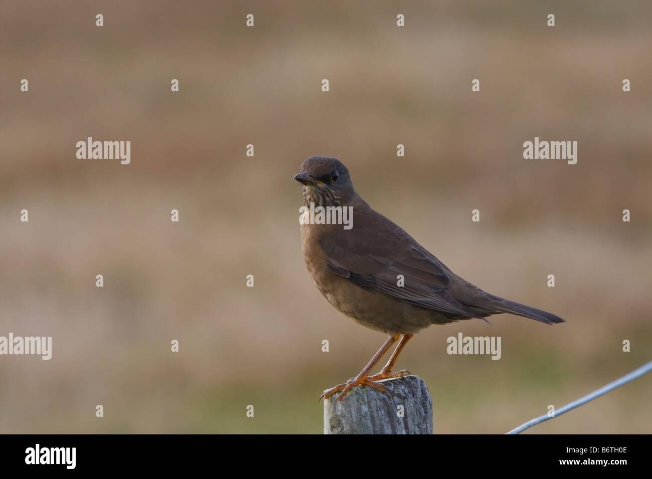 Falkland Island Thrush on Pebble Island Stock Photo