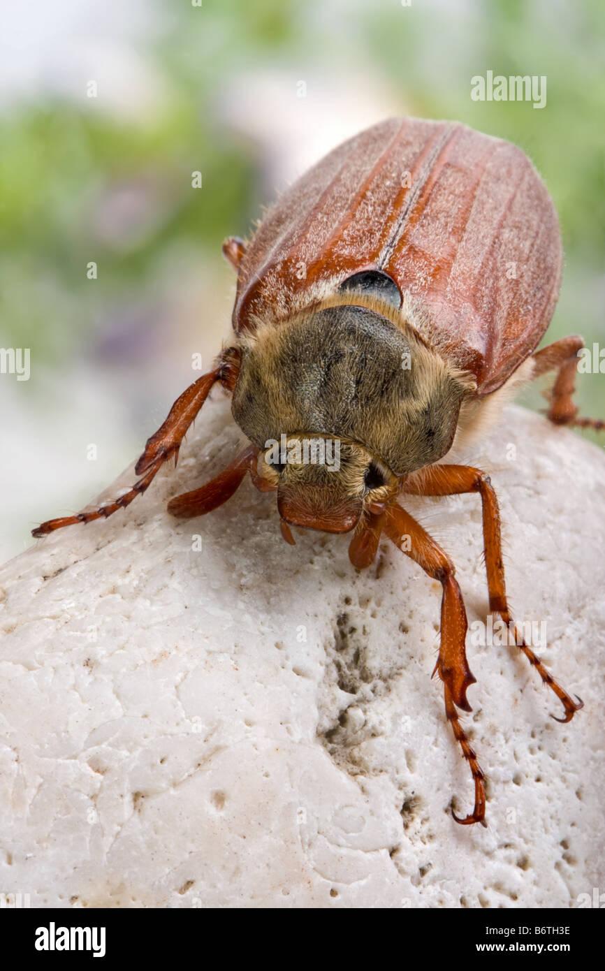 Nice specimen of a maybug in springtime Stock Photo