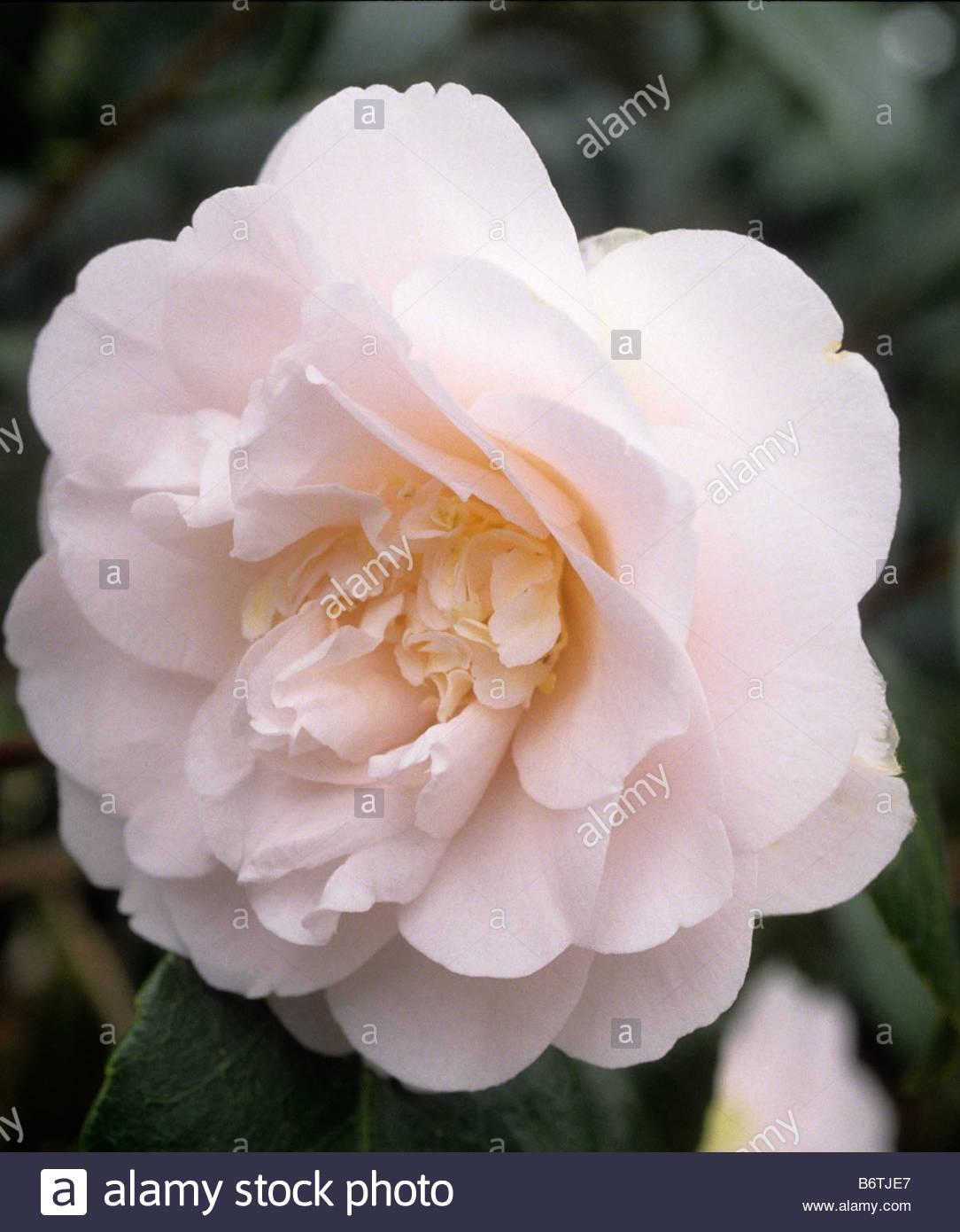 Camellia japonica Elsa - Stock Image