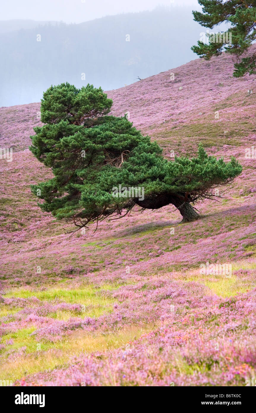Scots pine tree, shaped by prevailing wind, growing on a flowering heather moor in the Cairngorms, Scotland. - Stock Image
